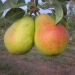 Pero-Coscia-vDalmonte Anticopomario piante da frutto online