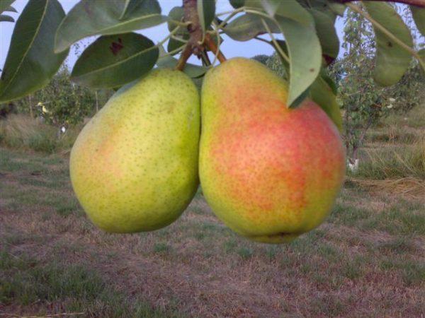 foto frutti dell'albero pero-Coscia