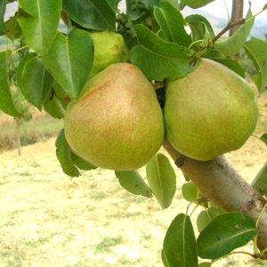 foto frutti dell'albero Pero-Decana-del-Comizio