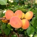 Reale d'imola Anticopomario piante da frutto online albicocche pianta di albicocche antiche