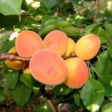 Reale d'imola Anticopomario piante da frutto online albicocche antiche