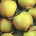 foto Renetta-Canada piante da frutto