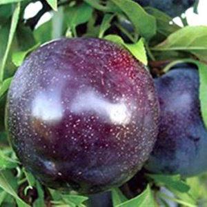 foto frutto Susino Black Amber