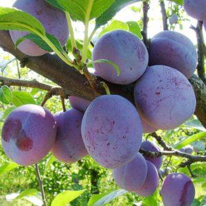 foto frutti Susino_Anna_Spat Dalmonte Anticopomario