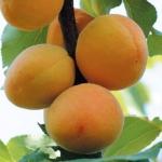 albicocco-bella-di-imola Anticopomario piante da frutto online albicocche pianta di albicocche antiche