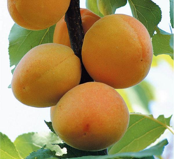 albicocco-bella-di-imola Anticopomario piante da frutto online di albicocche antiche