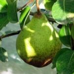 ammazzacavallo Anticopomario piante da frutto online
