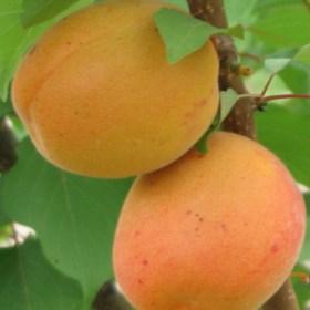 foto frutti dell'albero apricot-portici
