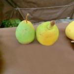 cedrata_romana_ok – pere varietà antiche – albero di pero –