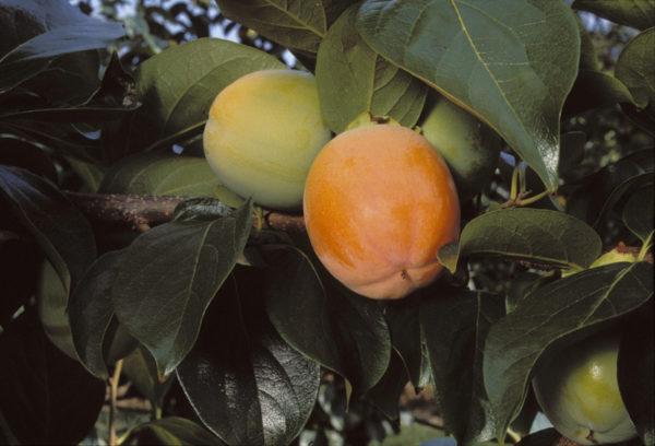 foto di frutti rojo_brillante