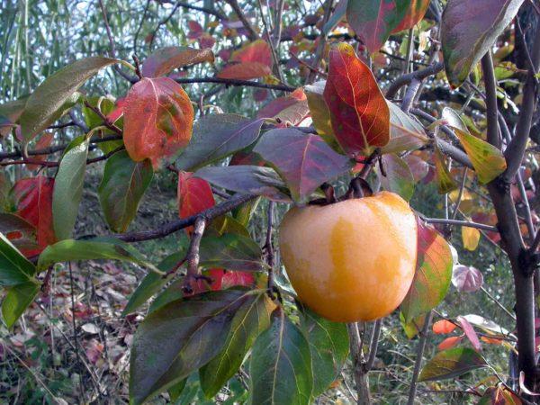 foto di frutti di cachi tipo