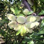 fm_mandorlo supernova piante da frutto in vendita online