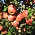 fuji-kiku-mela-Dalmonte anticopomario vivai pianta di mele