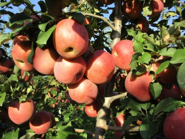 foto frutti dell'albero Melo fuji-kiku
