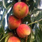 Pesco glohavenven piante da frutto in vendita online