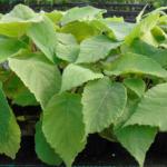 kiwi Impollinatore tomuri 45 fori micropagato nei laboratori dalmonte 2
