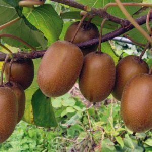 foto frutti della pianta di kiwi Hayward