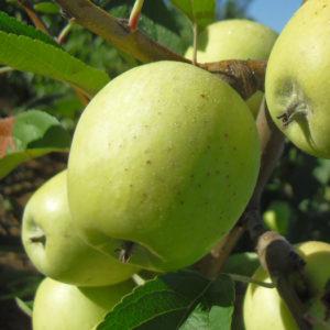 foto di melo limoncella