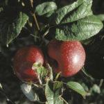 melo abbondanza rossa varietà antica