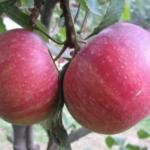 foto di mele annurca
