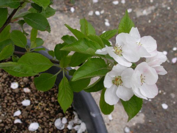 foto fiori di melo annurca