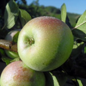 foto mela decio con foglie