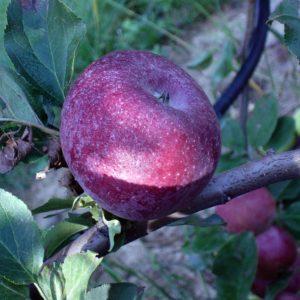 foto mela drappo rosso