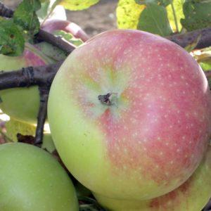 foto durello varietà di mele