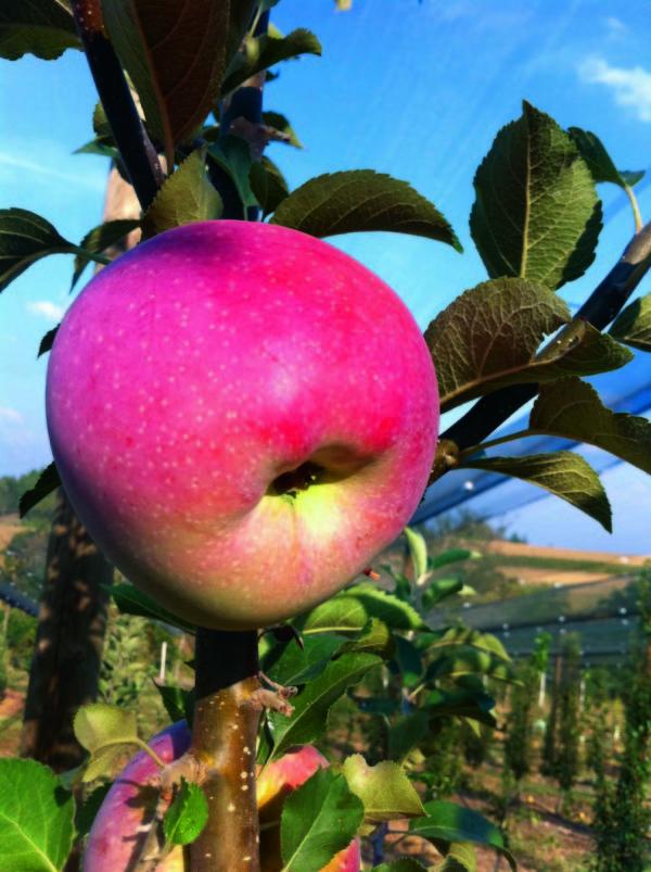 foto di mela Florina