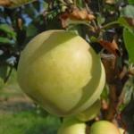 melo gelata anticopomario piante da frutto in vendita online
