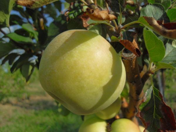 foto di mela gelata