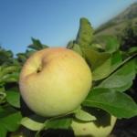 melo varietà gelata piante da frutto in vendita online