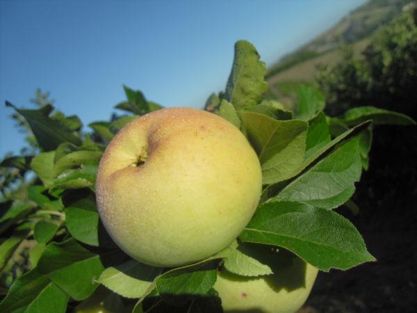foto di melo varietà gelata