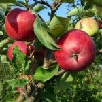 foto di mela varietà giugno