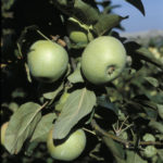 m_renetta_walder_1 piante da frutto in vendita online