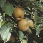 m rugginosa  piante da frutto in vendita online