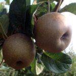 melo rugginosa  piante da frutto in vendita online