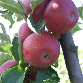 foto frutti dell'albero Melo melo-stayman-red