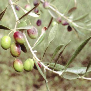 Foto di olive frantoio