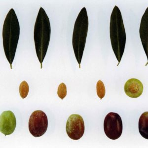 Foto di olive frantoio e foglie con dimensioni