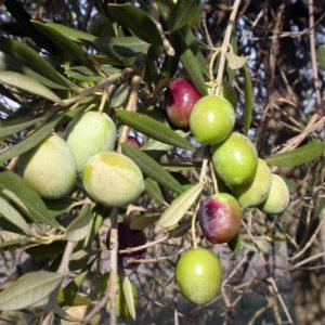 foto di olive ghiacciolo