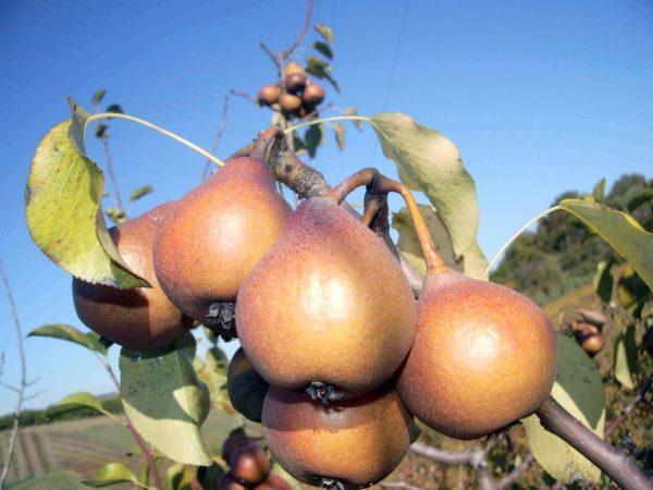 PERO MARTIN SEC Anticopomario piante da frutto online pero albero di pere pianta di pere antiche