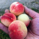 pb_madeleine_pouyet_ albero di pesche piante da frutto in vendita online
