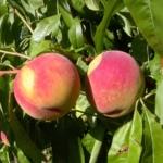 Pescomichelini piante da frutto in vendita online su AnticoPomario