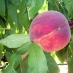 Pesco_rosa_del_west_ piante da frutto in vendita online