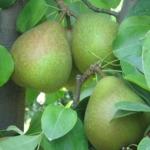 pera-cedrataromana Anticopomario piante da frutto online pero albero di pere antiche