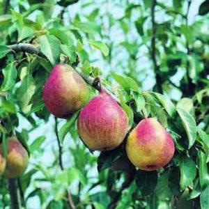 pera favorita Anticopomario piante da frutto online pero albero di pere antiche