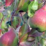 pera_angelica Dalmonte Anticopomario piante da frutto online 17