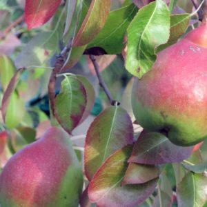 pera_angelica piante da frutto antiche