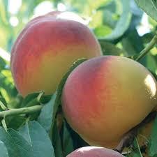 foto frutta percocca baby gold 6